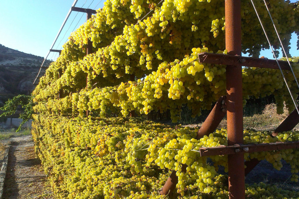 Vine Harvest In Crete – Wine Holidays In Chania